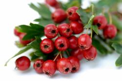 Применение плодов боярышника при сердечной недостаточности