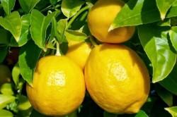 Польза лимона при стенокардии