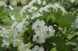 Польза настойки из цветков боярышника при тахикардии